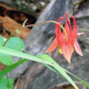 Columbine Wildflower in the forest